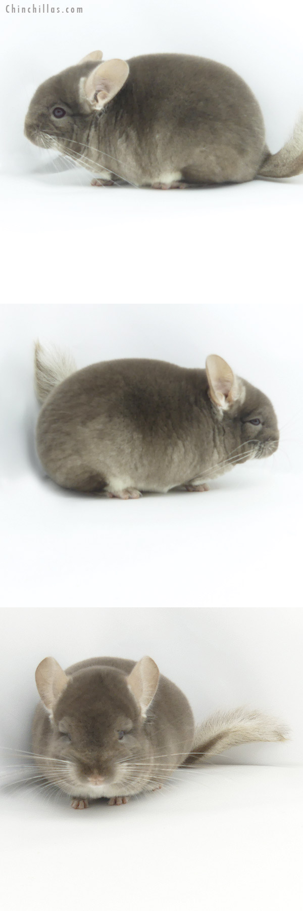 19383 Blocky Brevi Type Show Quality TOV Beige Female Chinchilla