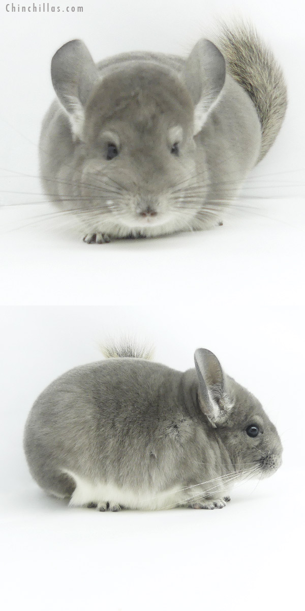 19386 Herd Improvement Quality Violet Female Chinchilla