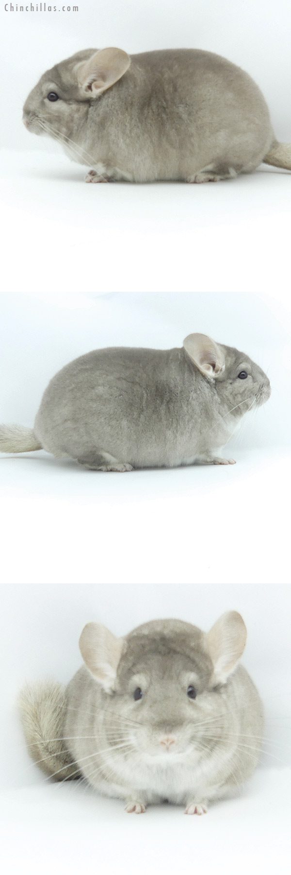 19380 Large Blocky Herd Improvement Quality Section Champion Beige Male Chinchilla