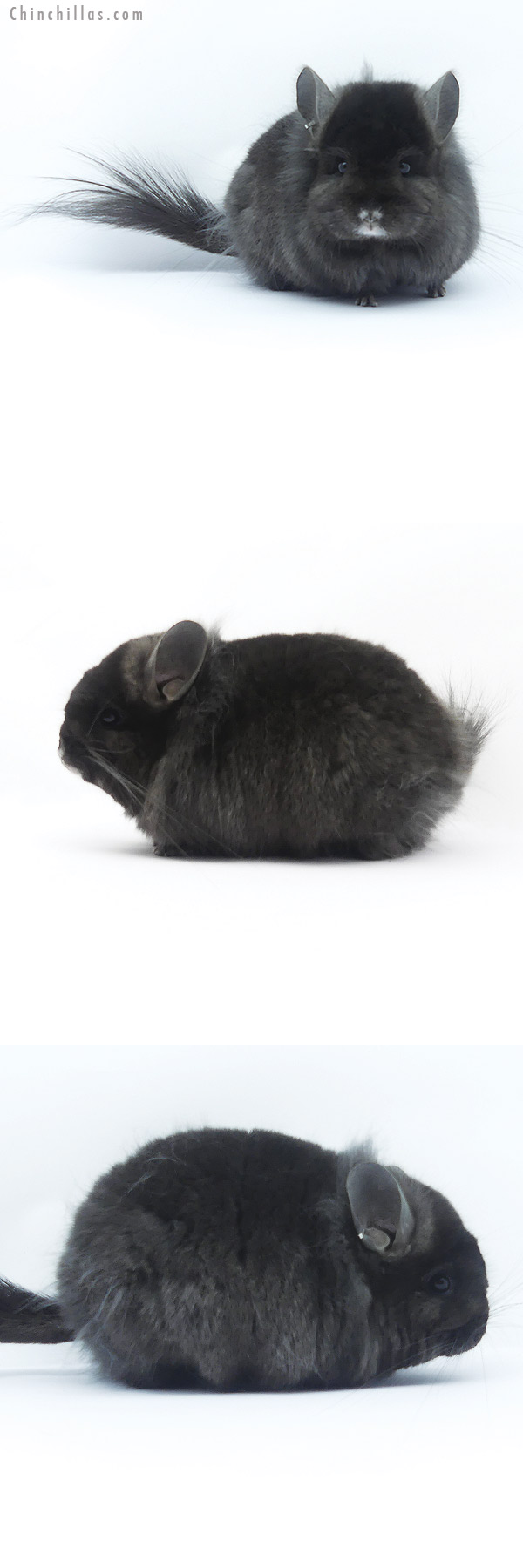 19390 Exceptional Ebony ( Locken Carrier ) CCCU Royal Persian Angora Female Chinchilla