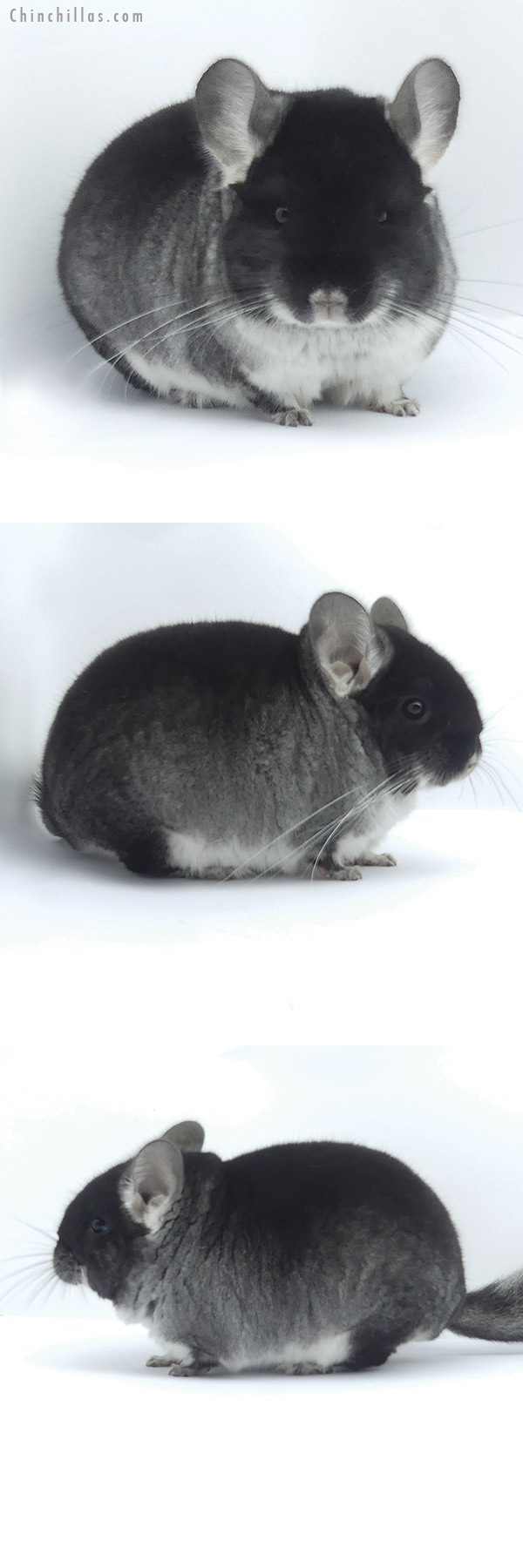 19398 Brevi Type Show Quality Black Velvet Male Chinchilla