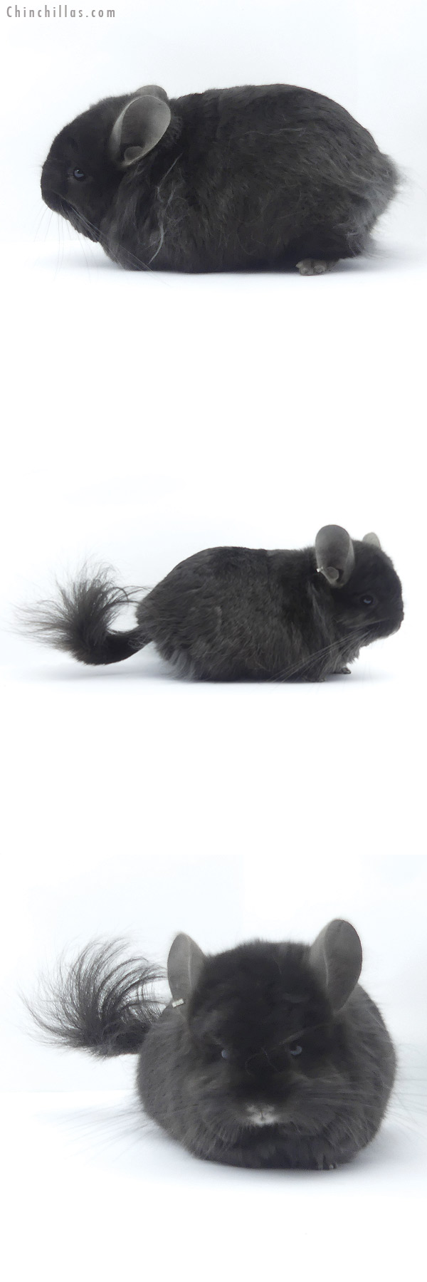19401 Brevi Type Ebony ( Locken Carrier ) G2 CCCU Royal Persian Angora Male Chinchilla