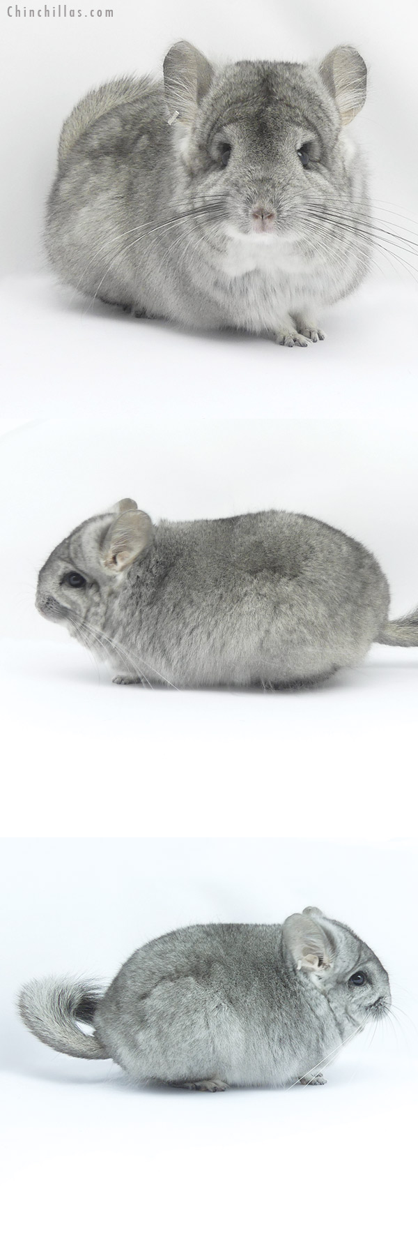 19414 Blocky Mini Standard ( Violet Carrier ) CCCU Royal Persian Angora Female Chinchilla