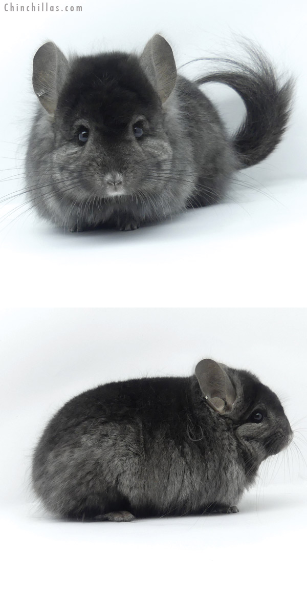 19430 Ebony ( Locken Carrier ) G2 CCCU Royal Persian Angora Male Chinchilla