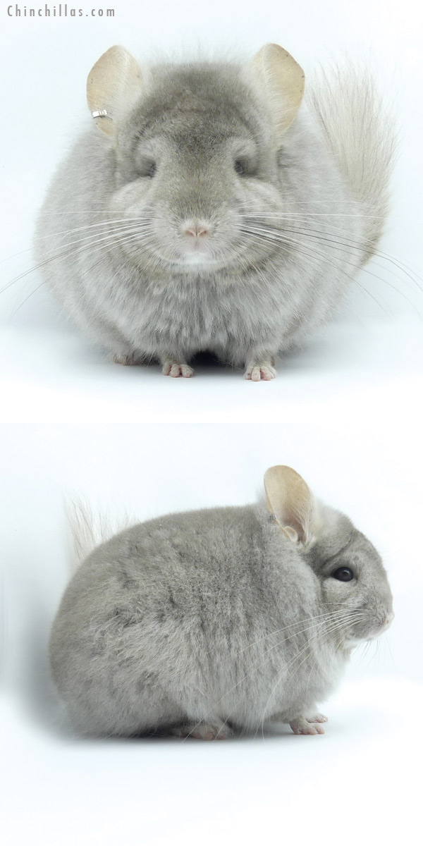19432 Beige ( Ebony & Locken Carrier ) CCCU Royal Persian Angora Male Chinchilla