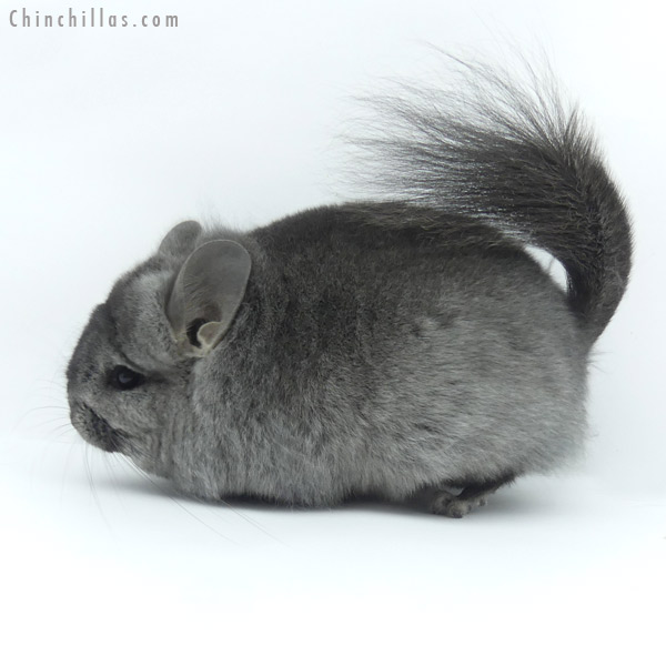 19443 Blocky Heterozygous Ebony ( Locken Carrier ) CCCU Royal Persian Angora Female Chinchilla