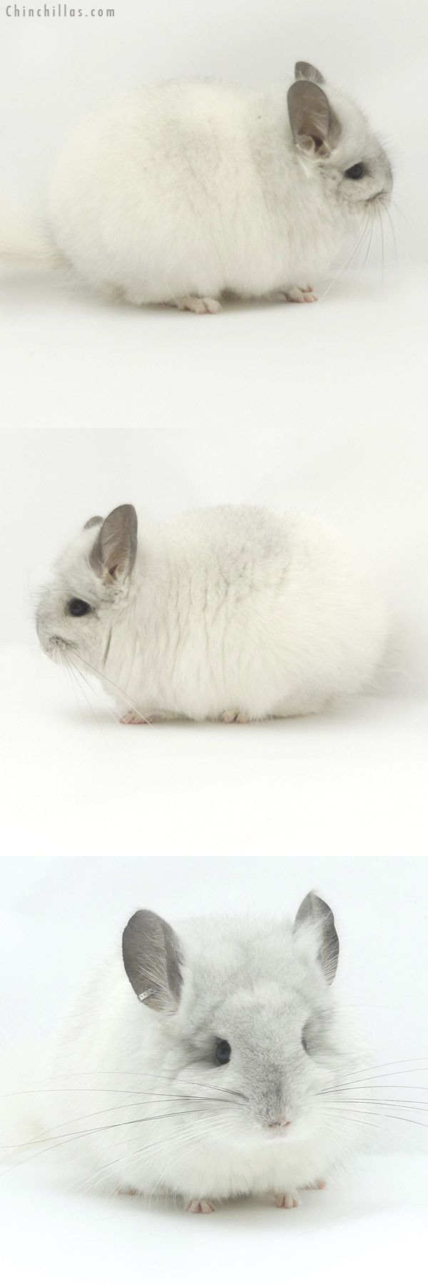 19448 White Mosaic CCCU Royal Persian Angora Female Chinchilla