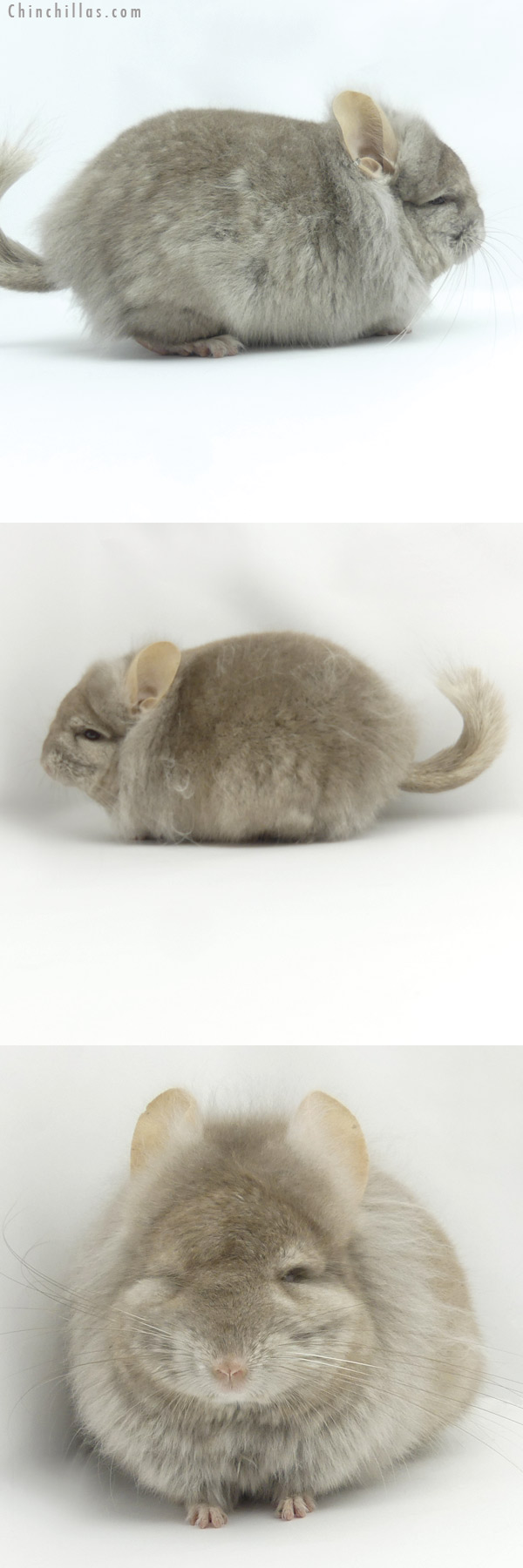 19428 Tan ( Locken Carrier ) CCCU Royal Persian Angora Male Chinchilla