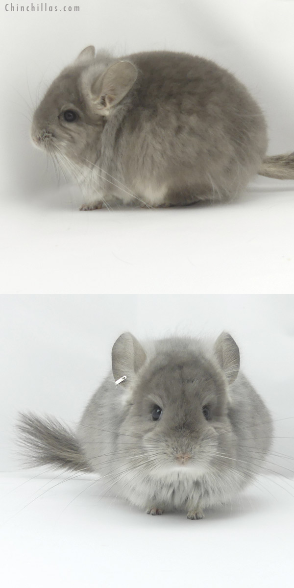 19454 Violet CCCU Royal Persian Angora Female Chinchilla