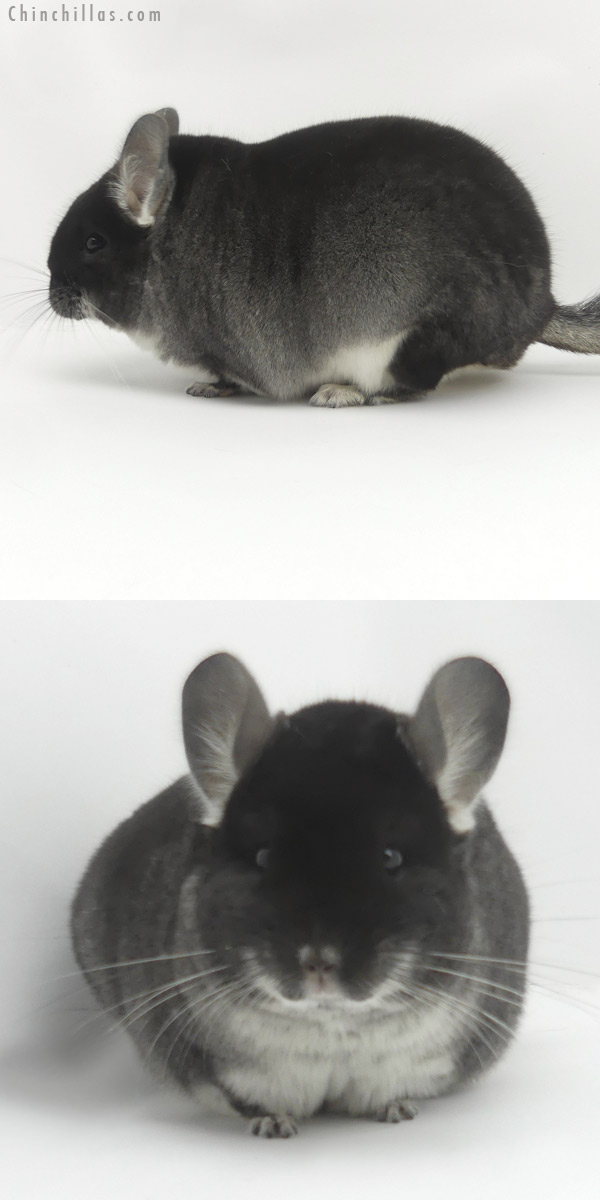 19457 Large Herd Improvement Quality Black Velvet Male Chinchilla