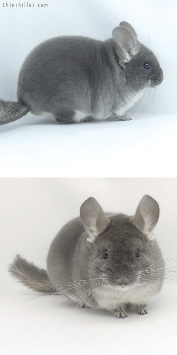 19455 Top Show Quality TOV Violet ( Sapphire Carrier ) Male Chinchilla