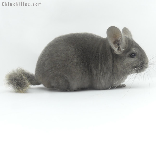 19465 Large Show Quality Wrap Around Violet Female Chinchilla