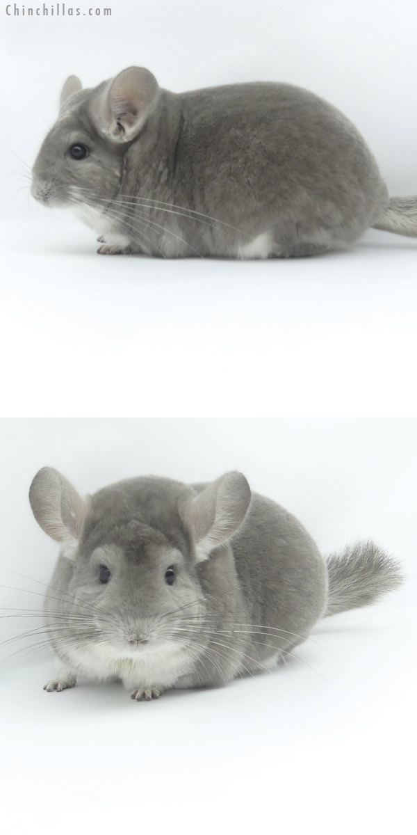 19464 Extra Large Premium Production Quality Violet Female Chinchilla