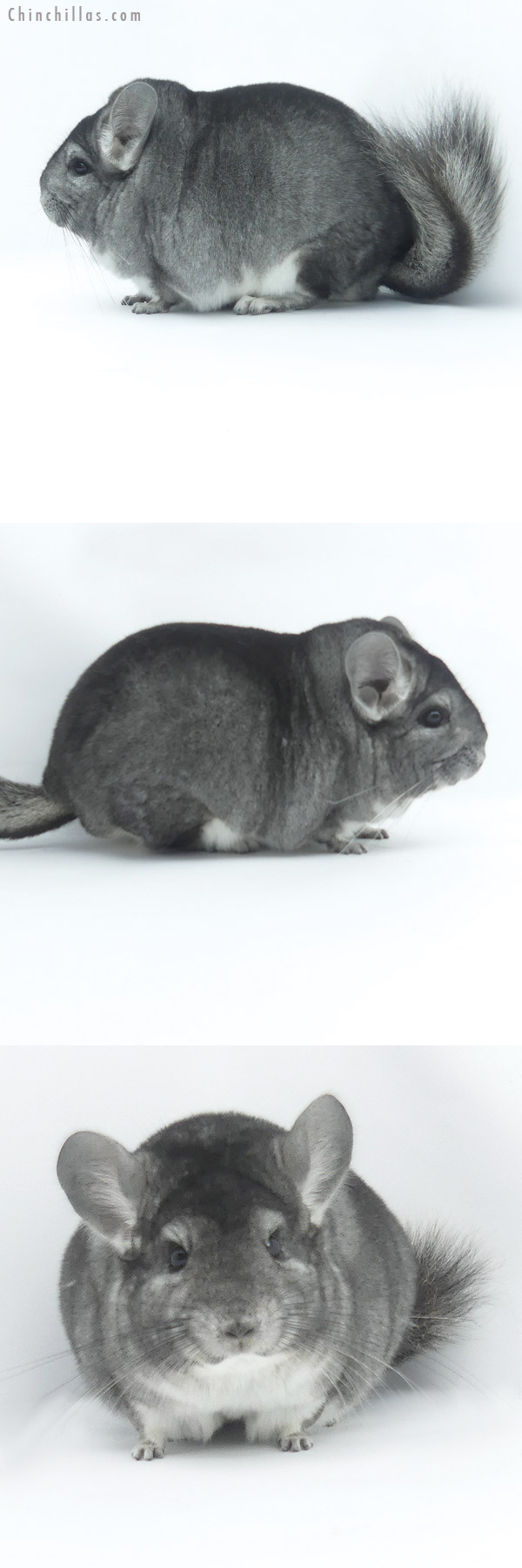 19475 Large Blocky Premium Production Quality Standard Female Chinchilla