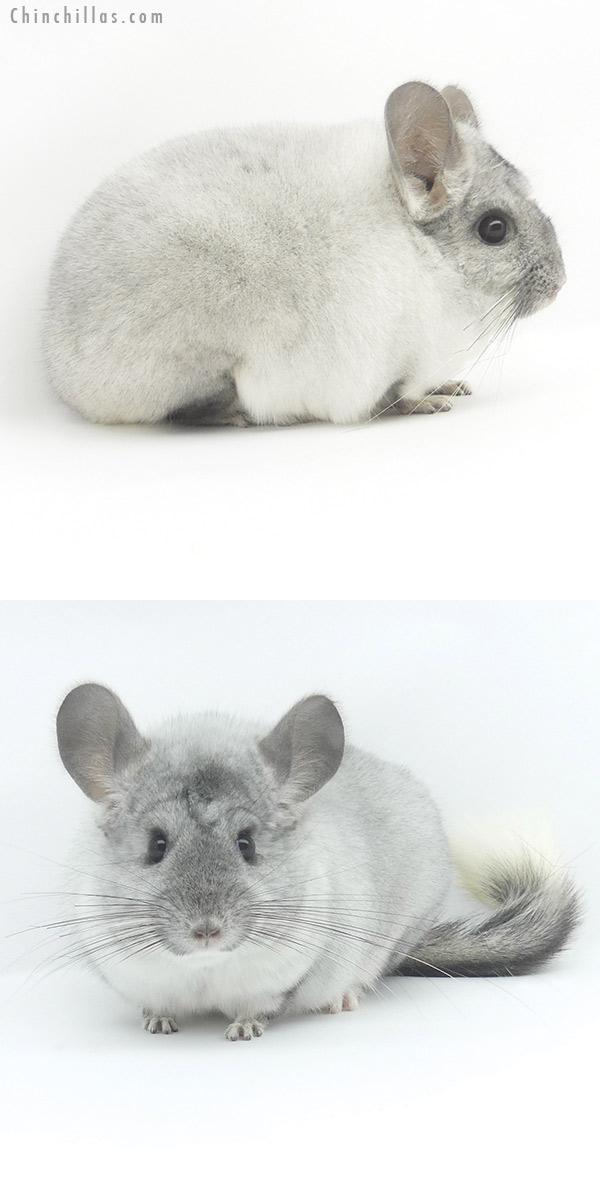 19474 Show Quality Silver Mosaic Female Chinchilla