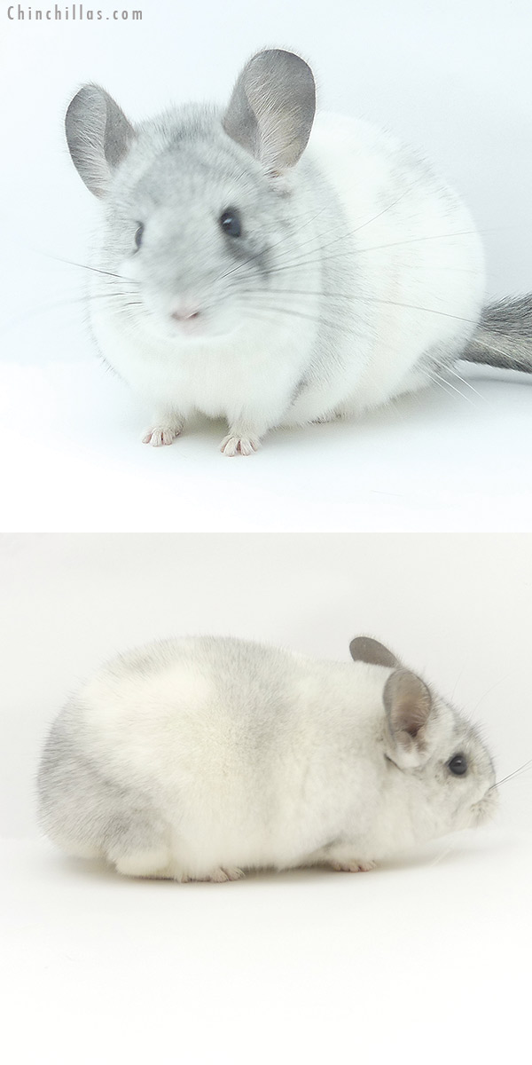 19473 Show Quality White Mosaic Female Chinchilla