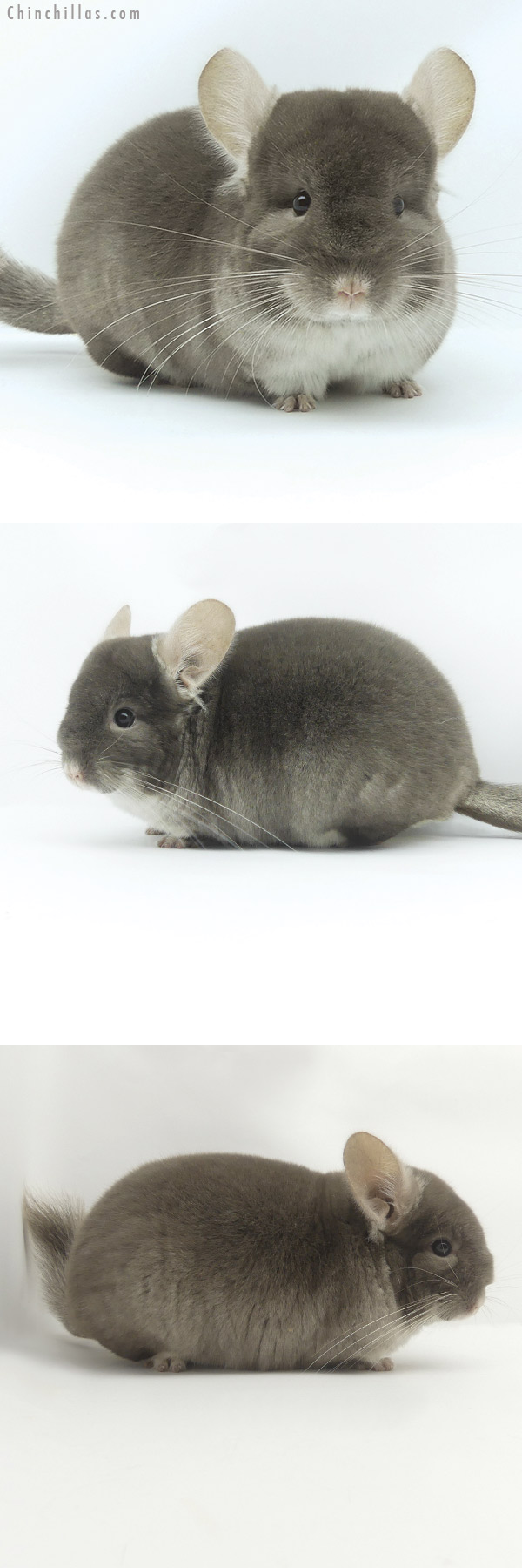19510 Premium Production Quality TOV Beige / Brown Velvet Female Chinchilla