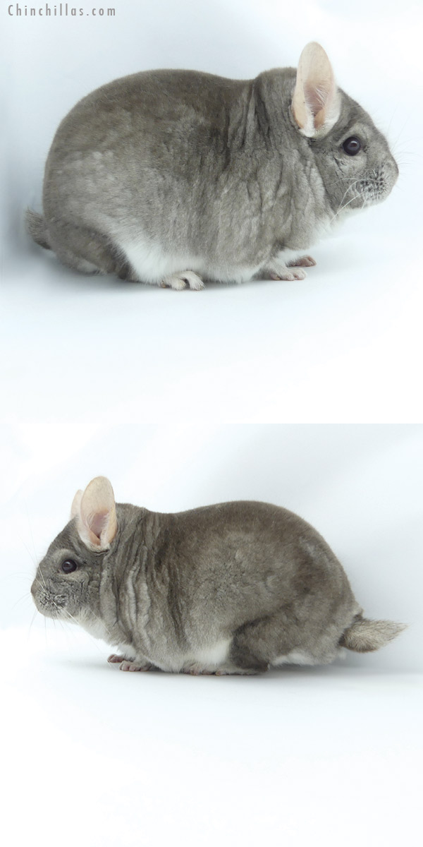 20005 1st Place Large Herd Improvement Quality Beige Male Chinchilla