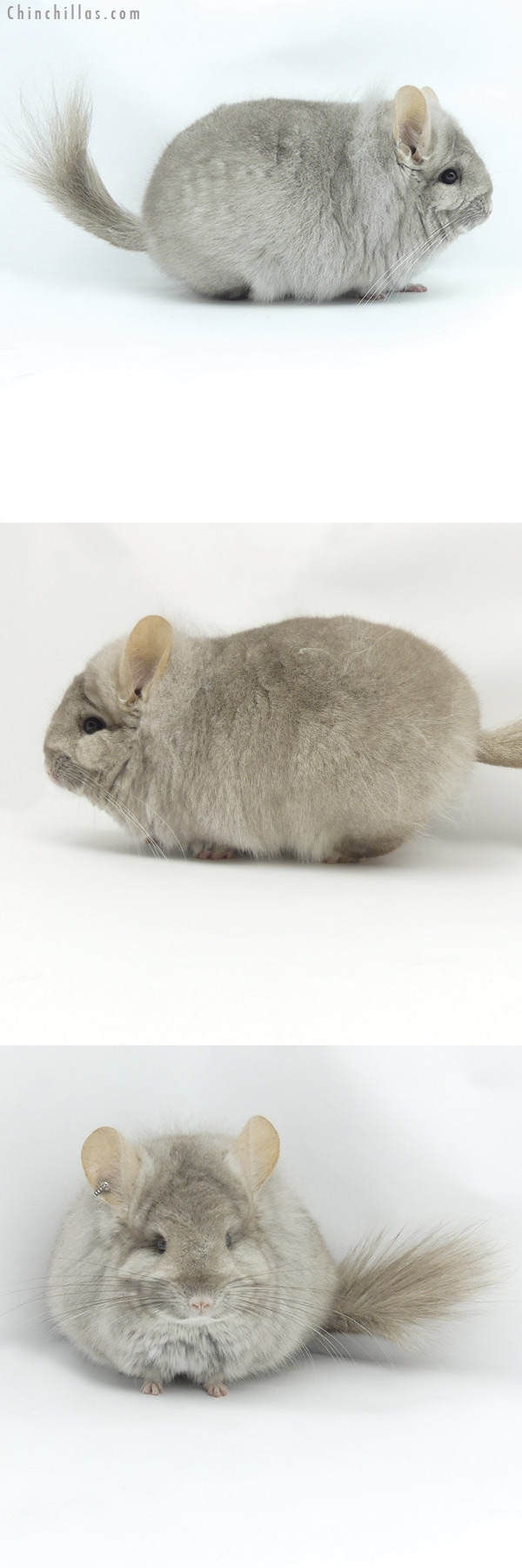 20014 Blocky Beige CCCU Royal Persian Angora Female Chinchilla