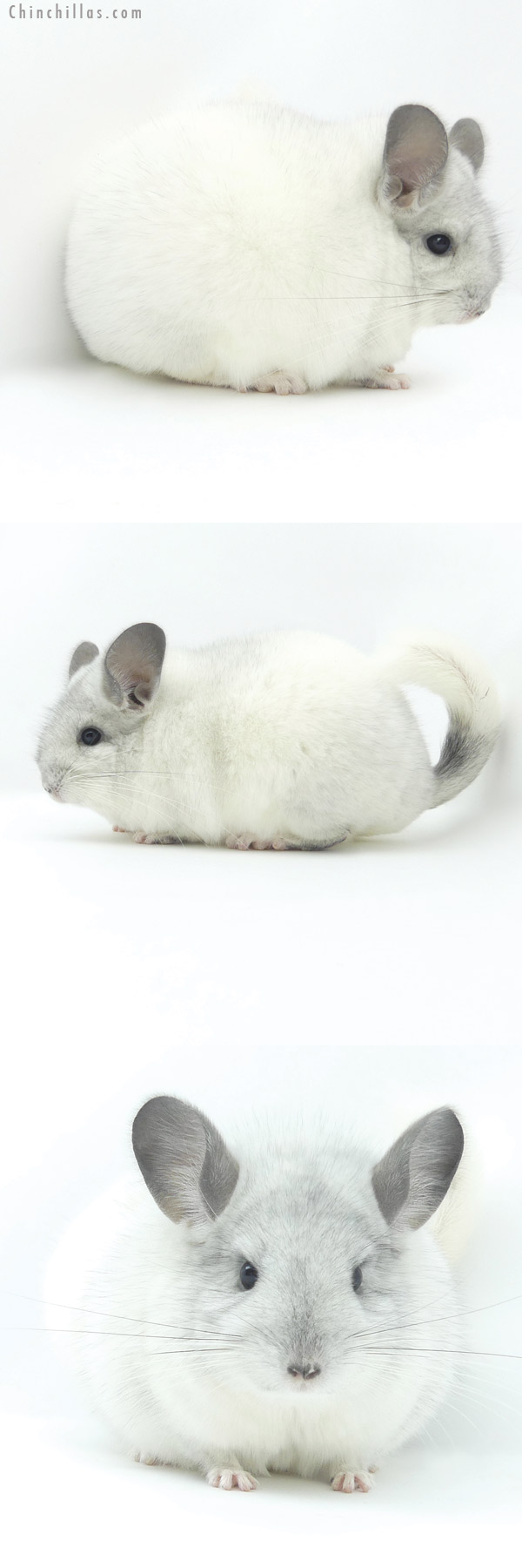 20021 Premium Production Quality White Mosaic Female Chinchilla