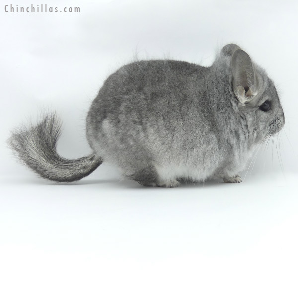 20031 Standard ( Ebony & Locken Carrier ) CCCU Royal Persian Angora Male Chinchilla