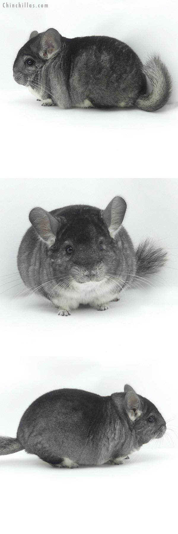20040 Blocky Herd Improvement Quality Standard Male Chinchilla