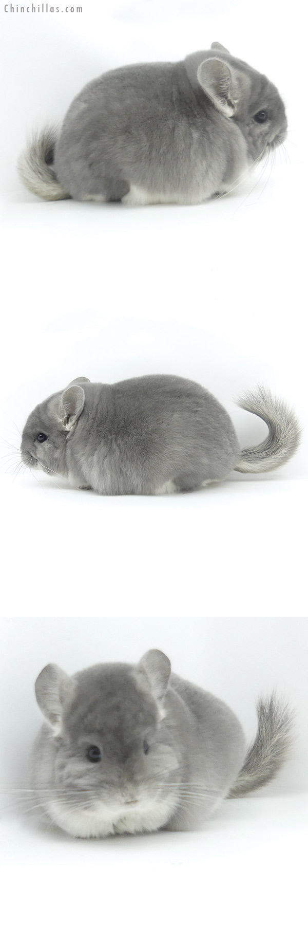 20037 Exceptional Blocky Brevi Type Herd Improvement Quality Violet Male Chinchilla