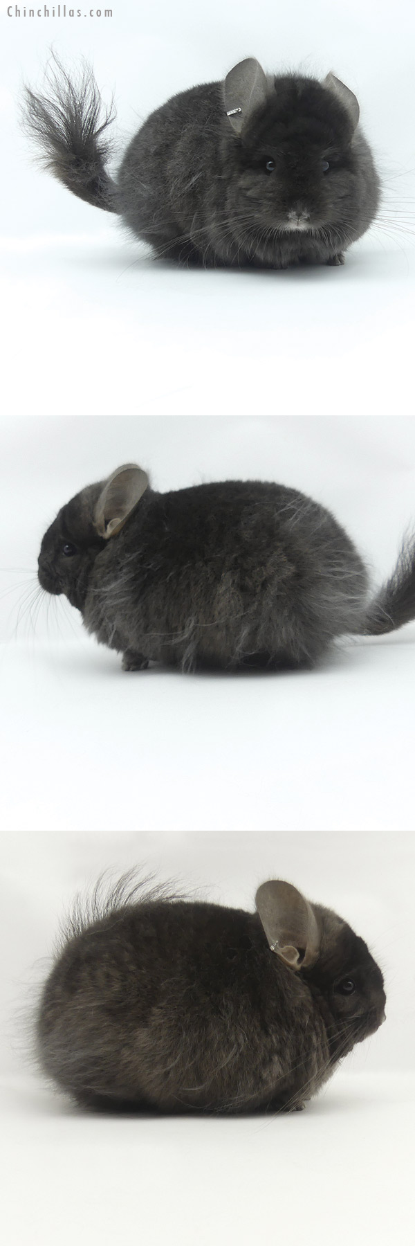 20056 Ebony ( Locken Carrier ) CCCU Royal Persian Angora Male Chinchilla