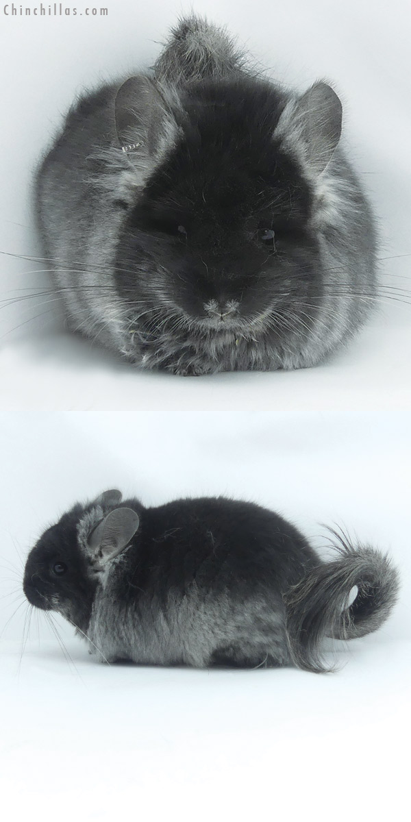 20060 Black Velvet ( Ebony & Locken Carrier ) CCCU Royal Persian Angora Female Chinchilla