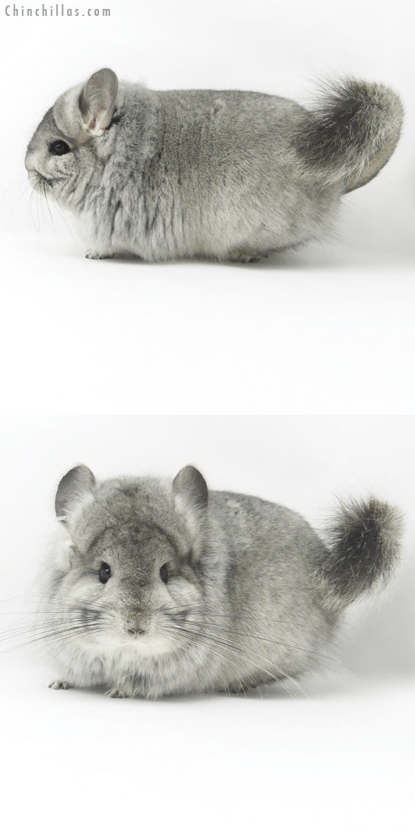 20062 Blocky Standard ( Ebony & Locken Carrier ) CCCU Royal Persian Angora Female Chinchilla