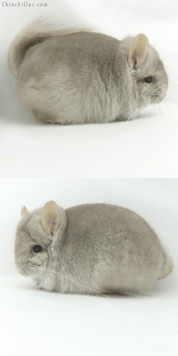 20077 Beige CCCU Royal Persian Angora Male Chinchilla