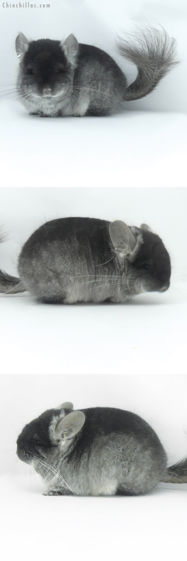 20065 Black Velvet CCCU Royal Persian Angora Female Chinchilla