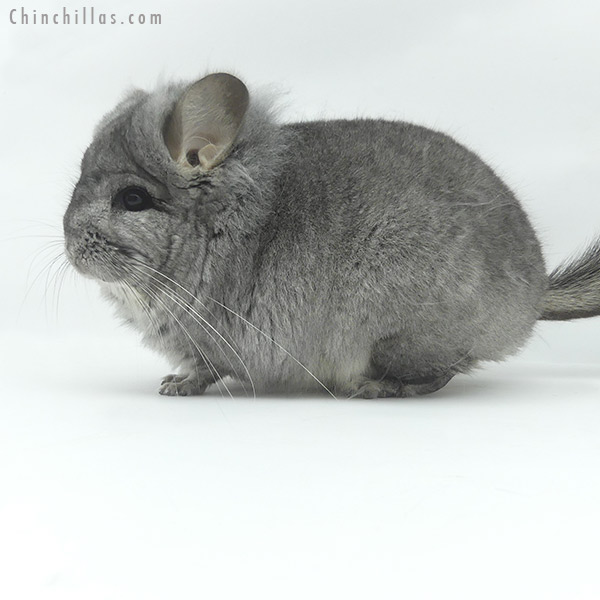 20094 Standard ( Sapphire Carrier ) CCCU Royal Persian Angora Male with Lion Mane Chinchilla