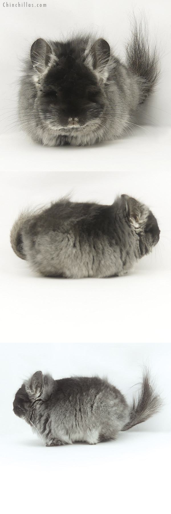 20090 Exceptional Black Velvet G2 CCCU Royal Persian Angora Female Chinchilla