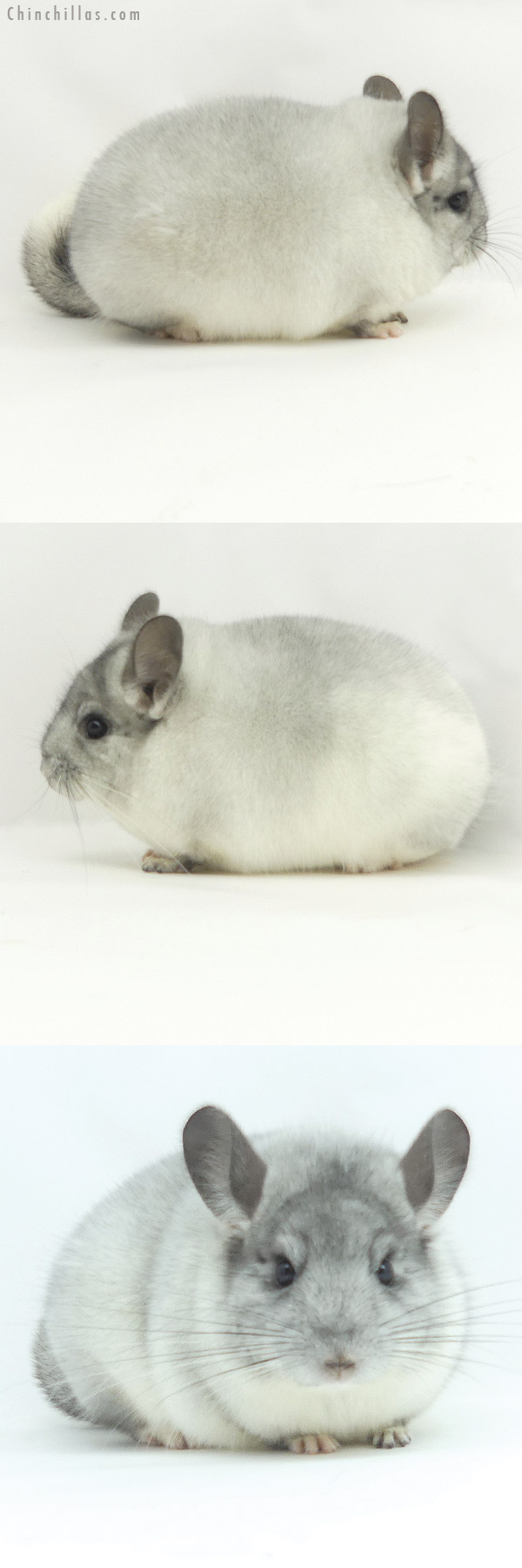 20129 Blocky Herd Improvement Quality White Mosaic Male Chinchilla