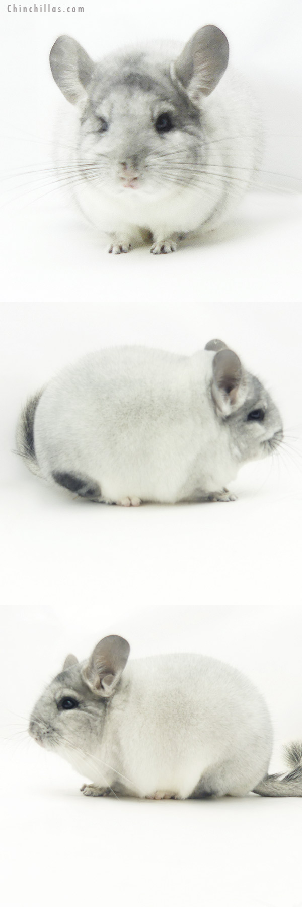 20150 Blocky Premium Production Quality White Mosaic Female Chinchilla