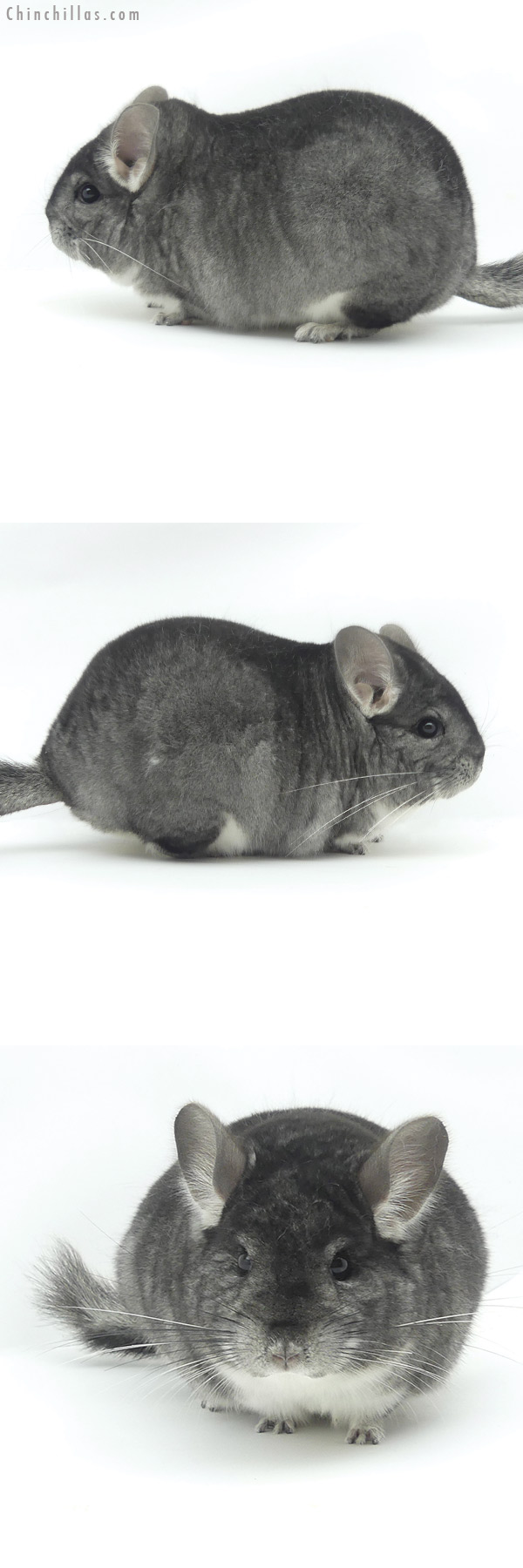 20141 Blocky Premium Production Quality Standard Female Chinchilla