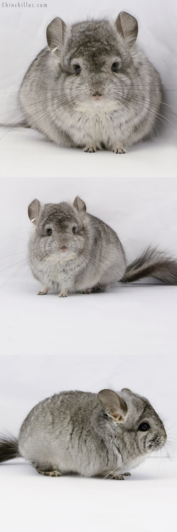 20175 Standard ( Violet Carrier ) CCCU Royal Persian Angora Male Chinchilla