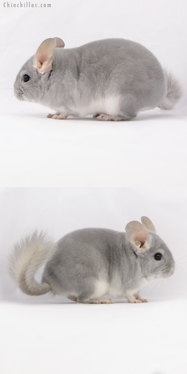 20229 Show Quality Blue Diamond Male Chinchilla