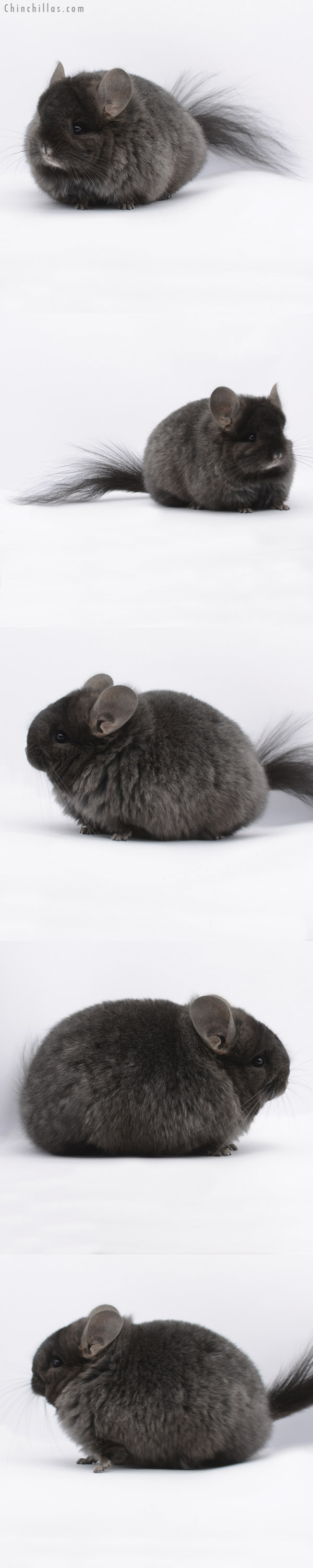 20279 Brevi Type Ebony ( Locken Carrier ) CCCU Royal Persian Angora Female Chinchilla