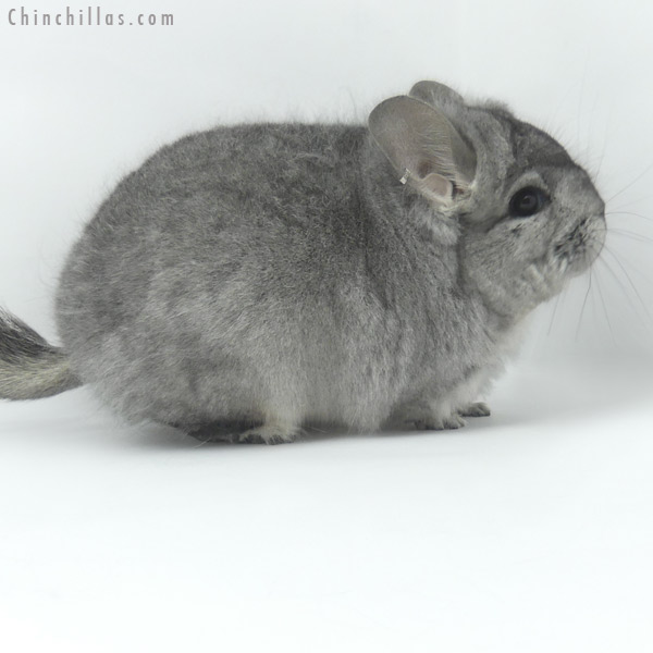 19462 Blocky Standard ( Ebony & Locken Carrier ) CCCU Royal Persian Angora Male Chinchilla