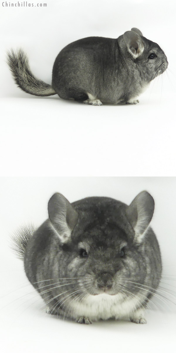 20155 Blocky Premium Production Quality Standard Female Chinchilla