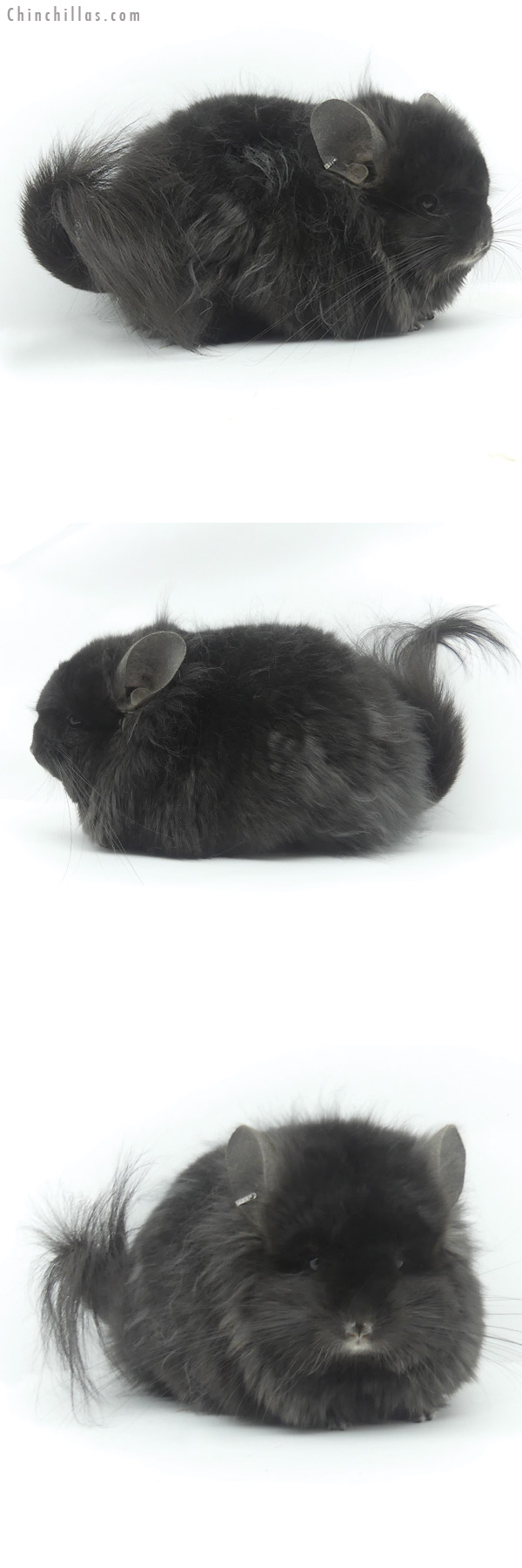 20088 Exceptional Ebony ( Locken Carrier ) G2 CCCU Royal Persian Angora Male Chinchilla
