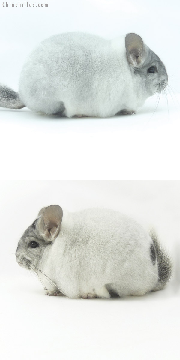 20098 Blocky Premium Production Quality White Mosaic Female with Body Spots Chinchilla