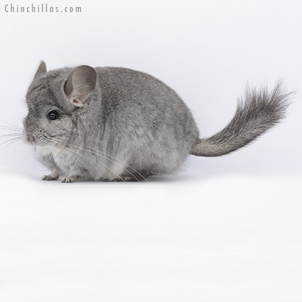 20275 Standard ( Ebony & Locken Carrier ) CCCU Royal Persian Angora Female Chinchilla