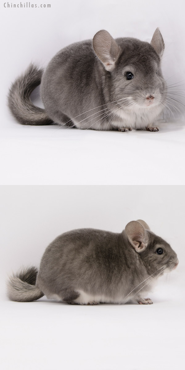 20284 Show Quality Violet Male Chinchilla
