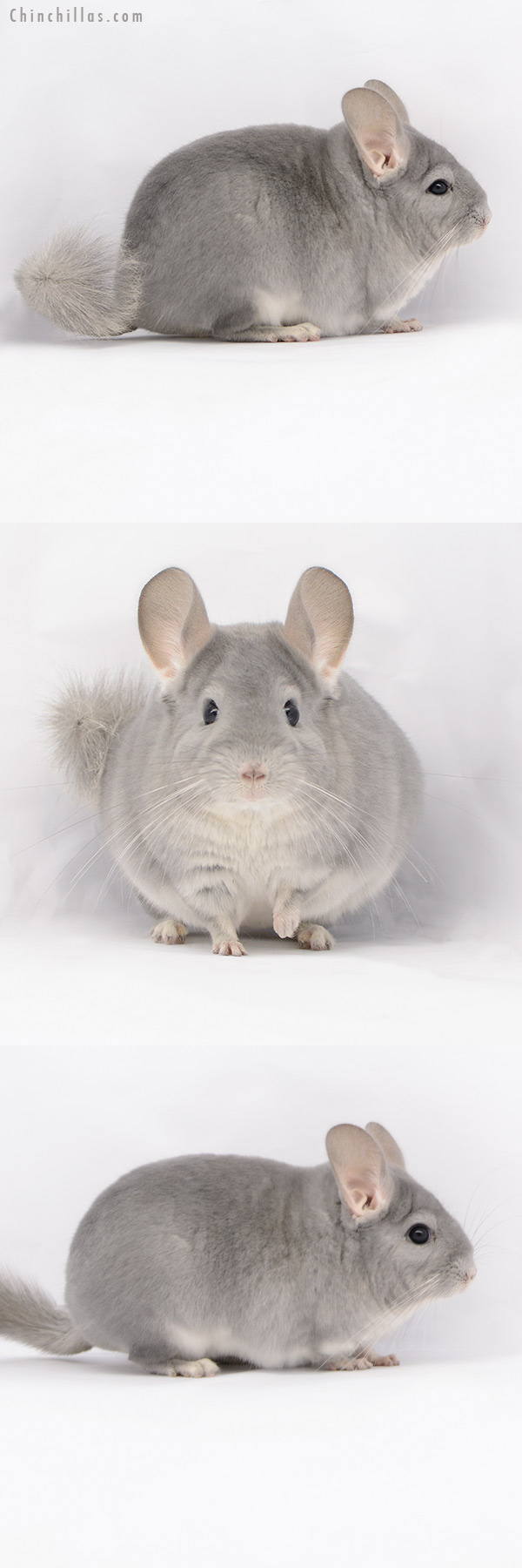 20213 Premium Production Quality Blue Diamond Female Chinchilla