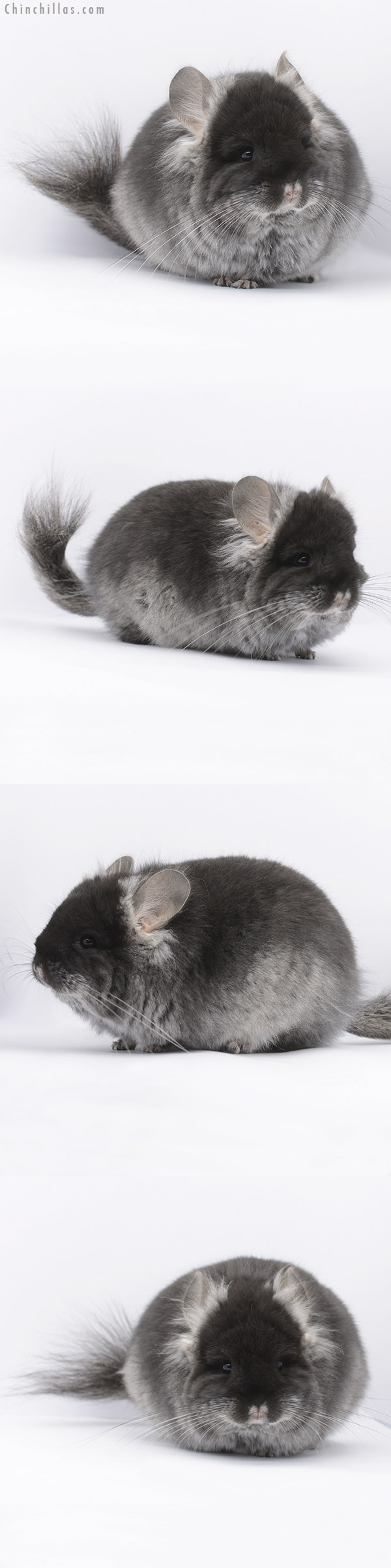 20292 Black Velvet CCCU Royal Persian Angora Female Chinchilla