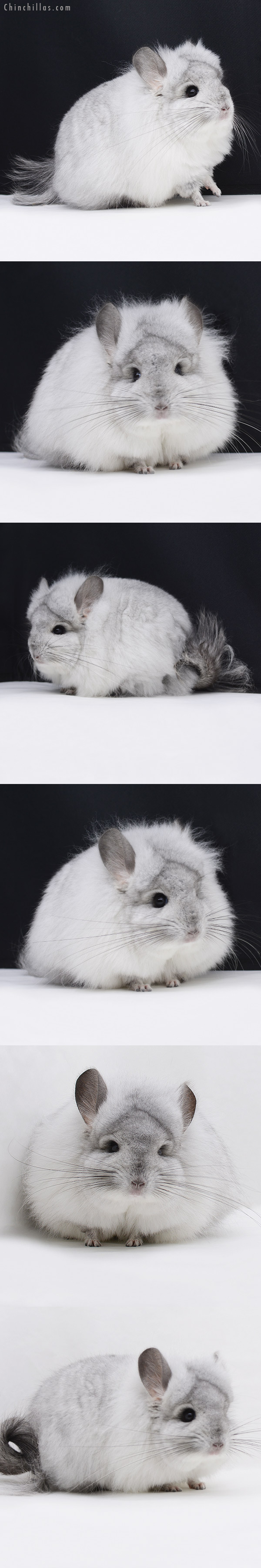 20251 Exceptional White Mosaic G3 CCCU Royal Persian Angora Male Chinchilla