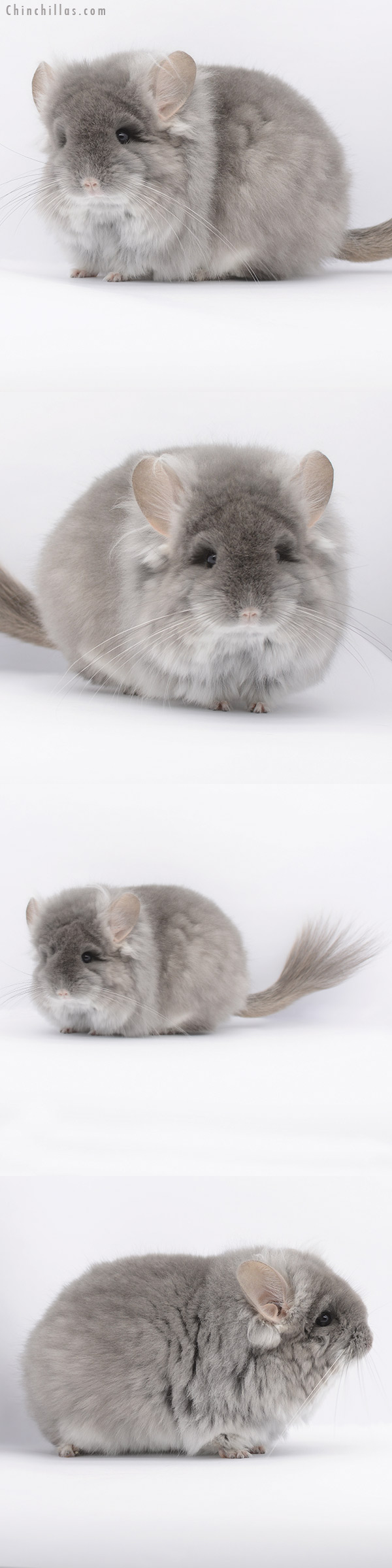 20305 Exceptional Large Blocky TOV Violet G2 CCCU Royal Persian Angora Female Chinchilla